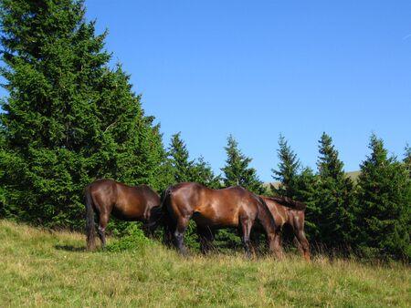 Beautiful three wild horses eating