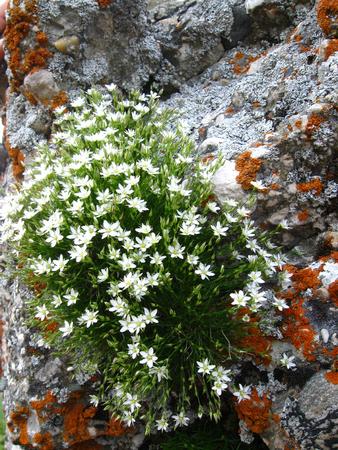 Bush of white flowers on rock Stock Photo
