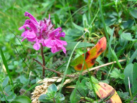Magenta wild flower close up