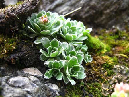 Wild echeveria flower close-up