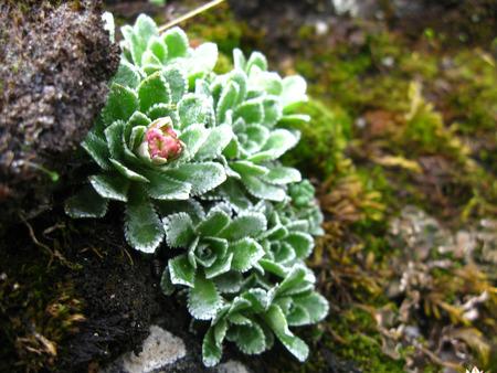 Wild echeveria flower in the rocks