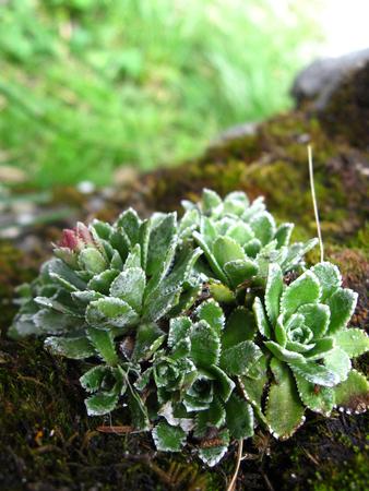 Wild echeveria plant