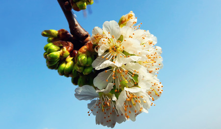 greening: Spring cherry flowers blooming. Blossom over blue sky background. Greening concept