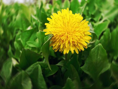 awakening: Dandelion flower close up on a green glade, meadow. Spring bright sunny day. The awakening of nature. Stock Photo