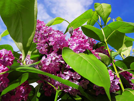 Branch of purple lilac flowers with the green leaves. Spring illustration