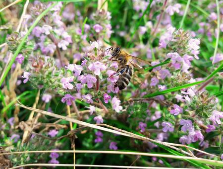 diligente: Ilustraci�n de una abeja que recoge el n�ctar diligente en un campo de flores