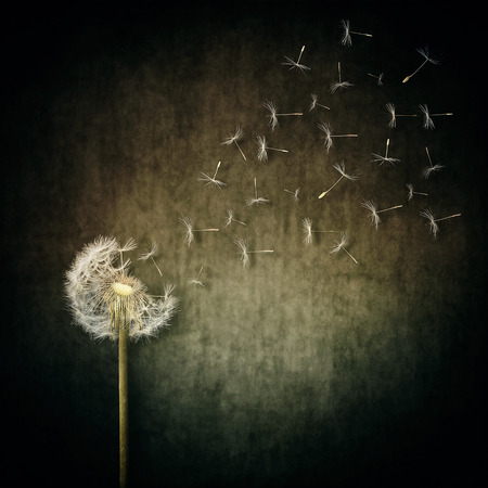 breaking free: A lot of seeds escape from a dandelion flower on a gray backround. Breaking free, life journey concept