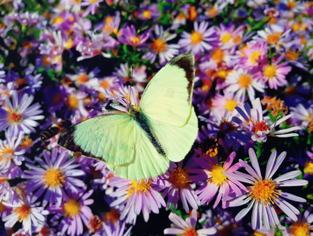 diligent: White cabbage butterfly (Pieris rapae) sits on purple aster meadow with opened wings