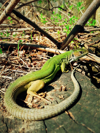 Green lizard warms up at the sun sitting on a tree trunk in the spring forest. Long tail reptile in the nature habitat.
