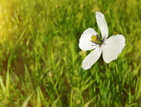 Summer meadow on bright sunny day, as a single white flower shine in the green grass.