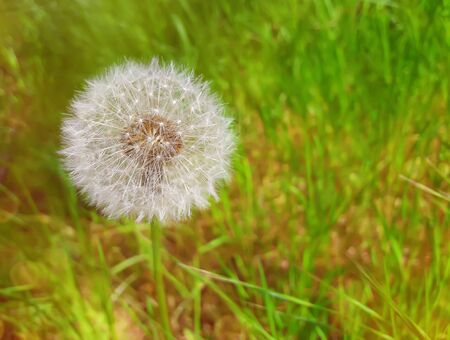 Summer meadow on bright sunny day, as a single dandelion shine it seeds in the green grass.