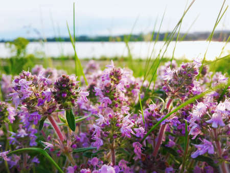 Close up of a field with purple flowers in the wild near the lake Stock Photo