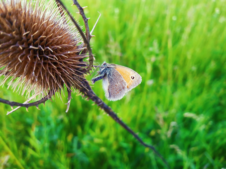 Cute colorful butterfly on a dry, thorn, spin plant against green grass background. Stock Photo