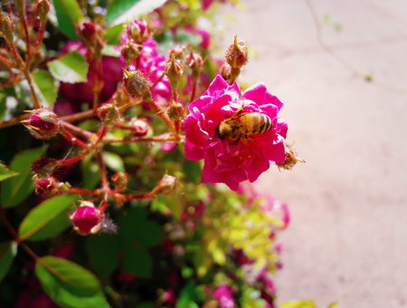 Diligent bee collecting nectar of a bush of little pink, wild, roses. Stock Photo