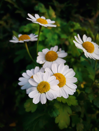 Close up of white daisy flowers, chamomile, on a green meadow in a summer day.