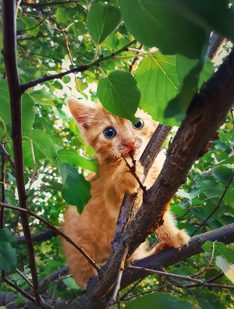 Scared orange kitten hanging on a tree branch waiting for help. Cute cat with blue eyes playing and hide behind leaves.