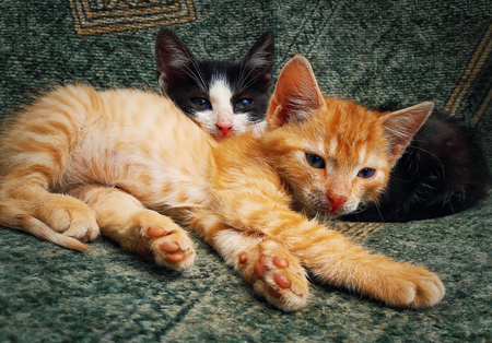 Two little kittens laying together. Adorable fluffy pets relax.