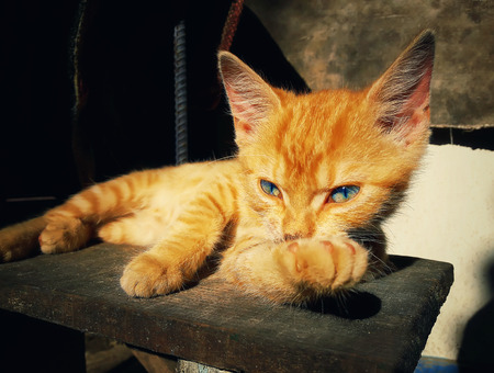 Thoughtful orange kitten posing. Mischief and lovely cat laying on a country vintage background. Adorable laziness.