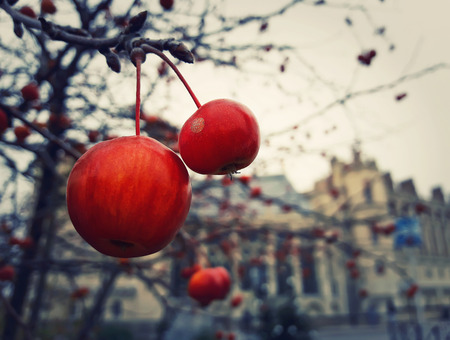 Close up of red berries fruit tree in the garden in front of Chateau Saint Germain, Paris, France. Cold winter morning scenery.