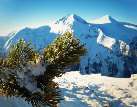 Snow covered pine tree branch close up on the top of mountains peak. Zdjęcie Seryjne - 119620154