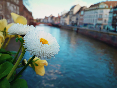 Closeup of beautiful white flower on the bridge in Strasbourg, France, Alsace. Colorful romantic city with traditional timbered houses near the river. Idyllic scene in a sunny day. Stock Photo