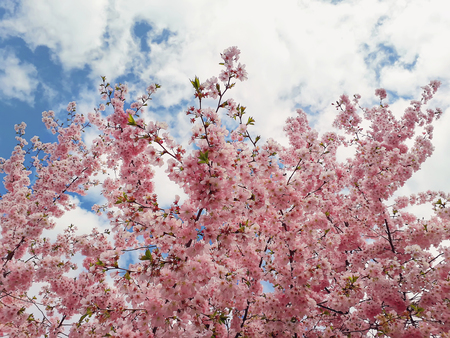 Wild pink cherry tree blooming over sky background. Spring flowers, cluster blossoms on the branch in the park. Beautiful nature seasonal close up.