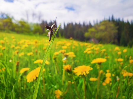 Closeup of a tiny bug climbing on a blade of grass in a yellow dandelion meadow. Sunny spring scene and a beetle balancing and take flight over the field.