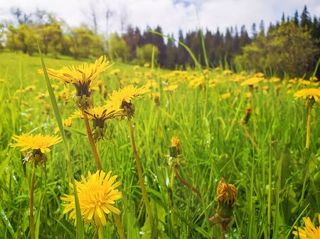 Close up flowering yellow dandelion field. Wonderful spring scene background, blooming green grass meadow. 스톡 콘텐츠