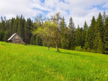 Wooden cabin in the fir forest, sunny spring day with green grass and flowering meadow.