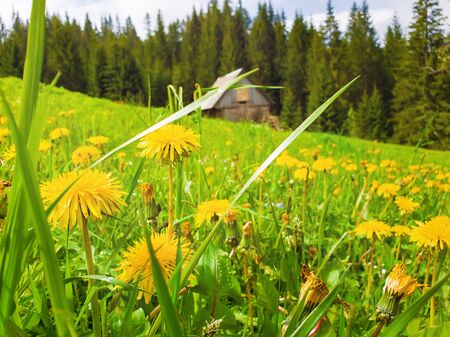 Close up of yellow dandelion flowers on the field in front. Marvelous rural spring scene with an old wooden cottage in the fir forest and blooming green meadow.
