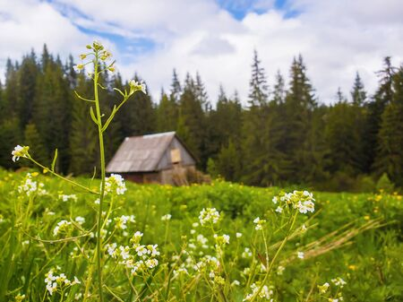 Closeup of wild, white flowers blooming on the field in front of an old wooden cottage near the fir forest. Marvelous rural spring scene with green meadow. 스톡 콘텐츠