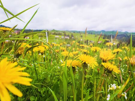 Close up flowering yellow dandelion field on the Carpathians hills. Wonderful spring scene, blooming green grass meadow over an old village background.