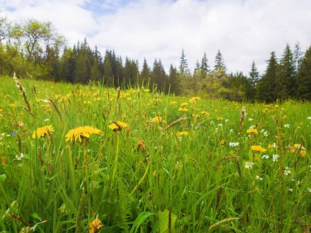 Flowering yellow dandelion field. Wonderful spring scene background, blooming green grass meadow, carpathian mountains flora over fir forest background. Stockfoto - 126669192