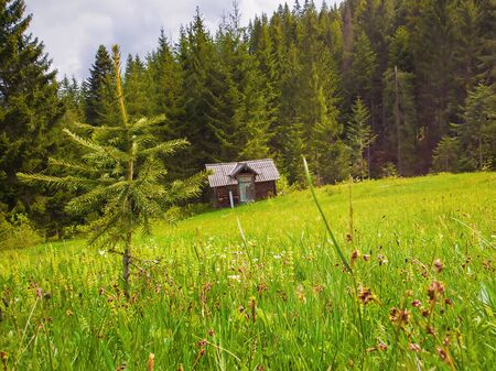 Close up of a little fir tree on the green grass field in front of a wooden cottage surrounded by coniferous forests. Picturesque spring idyllic scene of the Carpathians. 스톡 콘텐츠