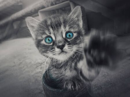 Close up black and white portrait of a cute little striped kitten with the pow outstretched to camera looking curious with the blue eyes selective color effect.