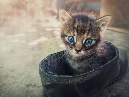 Funny striped kitten looking confused to camera with his blue eyes as sitting outdoors in a old farm shoe. Playful little cat cute emotion hiding in a boot.