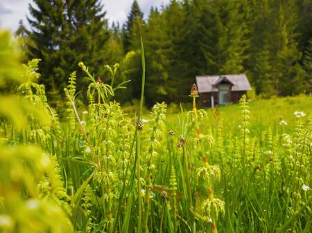 Closeup of wild Carpathians vegetation on the field in front of an old wooden cottage near the fir forest. Marvelous rural spring scene with green meadow. 스톡 콘텐츠