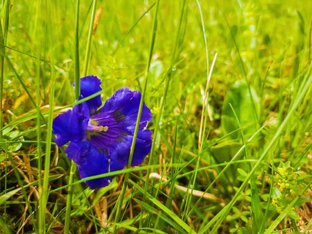 Close up of single blue enzian flower (Gentiana acaulis) in the green grass of Carpathians wild hills. Spring blooming and vegetation.
