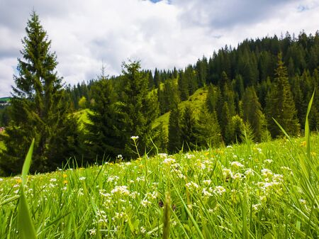Close up beautiful view of nature green grass, carpathian mountains vegetation, meadow over fir tree background with sunlight. Ecology concept.