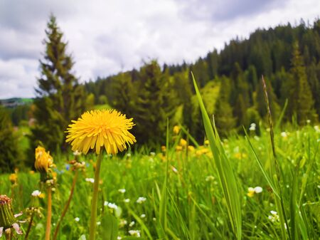 Close up flowering fluffy yellow dandelion on the field. Wonderful spring scene background, blooming meadows and green grass near the coniferous forest. 스톡 콘텐츠