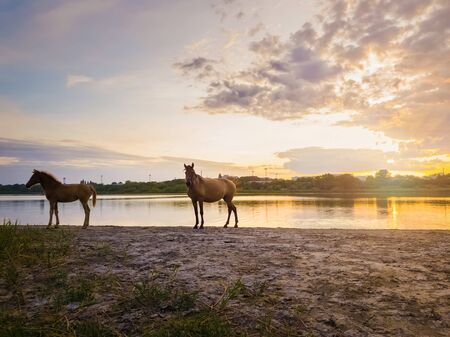 Two brown horses, young foal and his mother mare, standing near pond, watering over sunset background with reflection on the lake surface. 写真素材