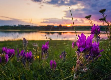 Close up of wild, purple flowers blooming in the meadow near lake over sunset background in a calm summer evening.