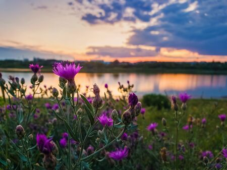 Close up of wild, purple shrub flowers blooming in the meadow near lake over sunset background in a calm summer evening. Zdjęcie Seryjne