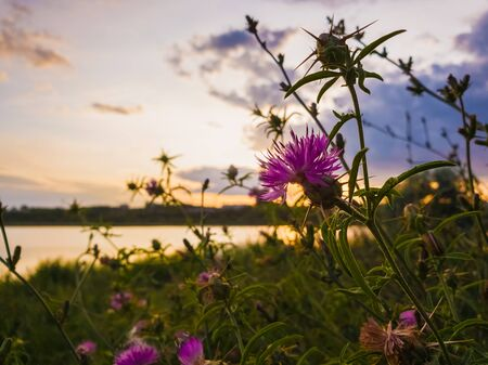Bushes of spiny purple plants with thistle flowers blooming over sunset sky background.