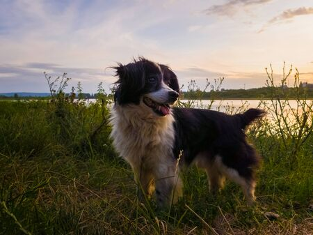 Portrait of joyful dog standing outdoors, on a green field, over sunset background during a countryside evening walk in the nature.