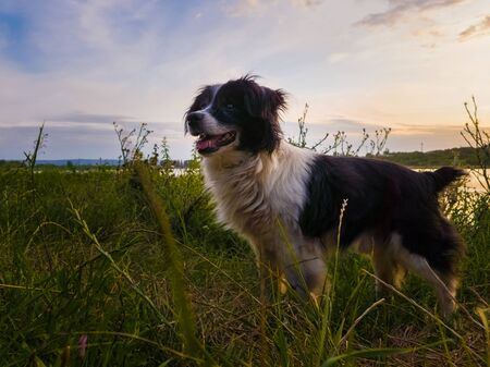 Joyful dog walking outdoors in a summer evening, stands on a green grass field looking attentive over sunset background in a countryside place.