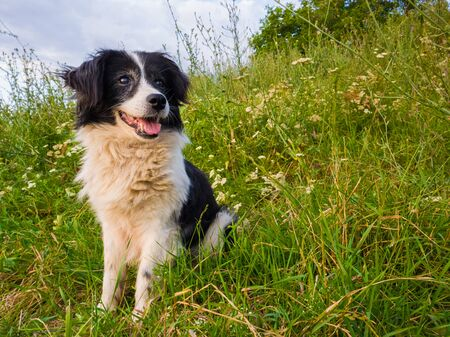 Happy dog seated on the grass meadow in the middle of the nature looking around enjoying the silence of a sunny day.