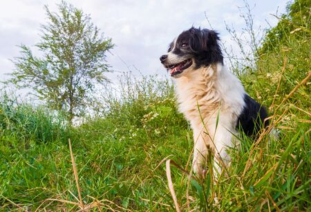 Happy border collie dog seated on the grass in the middle of the nature looking around enjoying the silence of a sunny day. Zdjęcie Seryjne