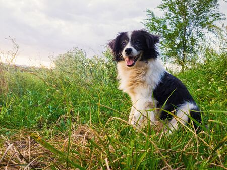 Happy border collie dog seated on the countryside green grass field in the middle of the nature looking around enjoying the silence of a sunny day.