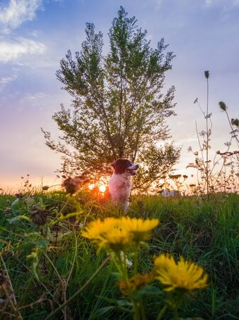 Portrait of a dog posing in the nature on a summer flowering meadow over a sunset sky background. Orange sun beams pierce the branches of a elm tree and a Border Collie puppy enjoying the dusk.